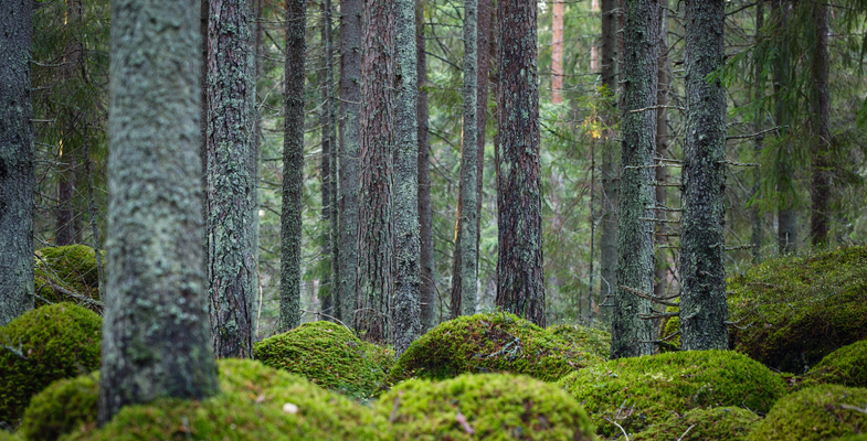 Forest floor covered with moss
